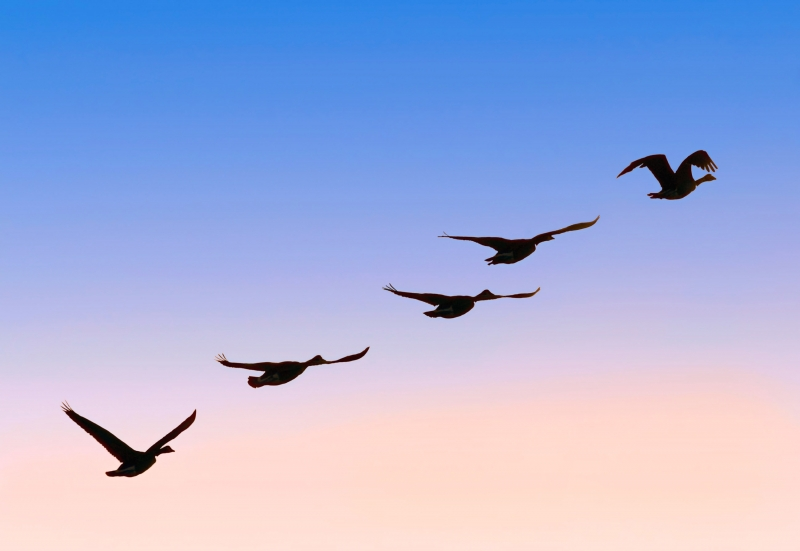 Flock of Geese Soaring in Sky into 2017